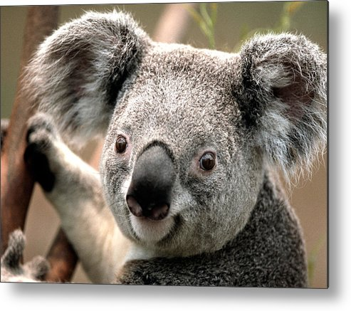 Metal Print featuring the painting Koala by Dhirendra Jaiswal