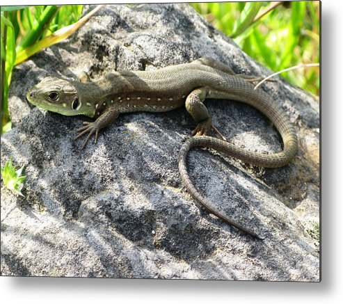 Lizard Metal Print featuring the photograph Lizard by Andonis Katanos
