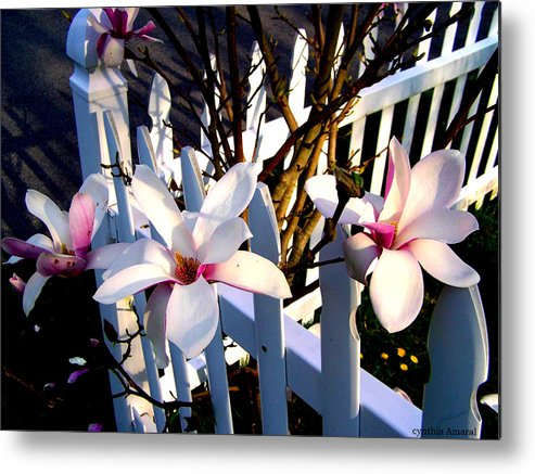 Picket Fence Metal Print featuring the photograph Magnolis's On A Picket Fence by Cynthia Amaral