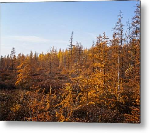 Conifer Metal Print featuring the photograph Nevergreens by Philip G