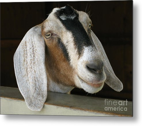 Goat Metal Print featuring the photograph Photogenic Goat by Ann Horn