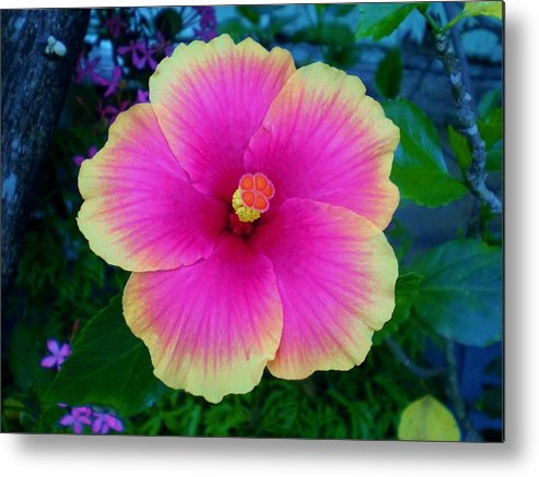 Metal Print featuring the photograph Pink Hibiscus by Cristie Rieland