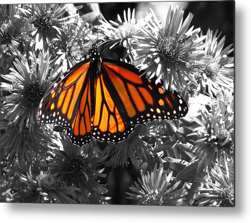 Butterfly Metal Print featuring the photograph Resplendence by Debbie Rowe
