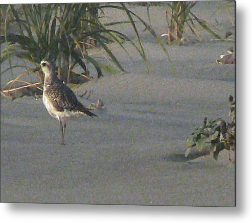 Bird Metal Print featuring the photograph Sandpiper Stroll by Pamela Patch