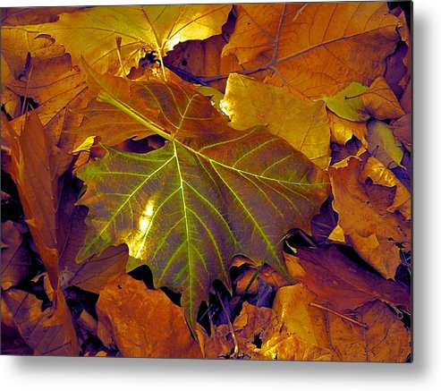 Shiny Sycamore Metal Print featuring the photograph Shiny Sycamore by Beth Akerman