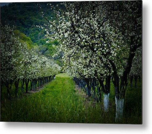 Spring Metal Print featuring the photograph Springtime In The Orchard II by Bill Gallagher