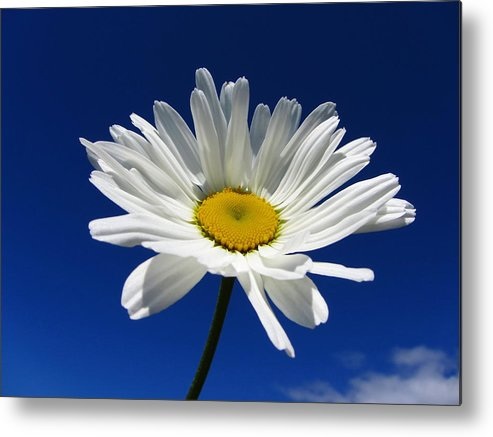 Horizontal Metal Print featuring the photograph Sunlight Daisy by By Merete Stava