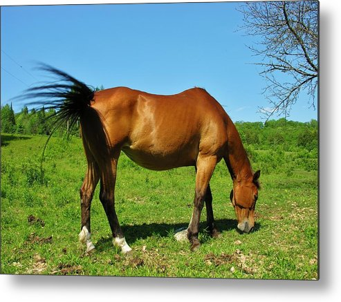 Horse Metal Print featuring the photograph Tail Swatting Flies by Sherman Perry