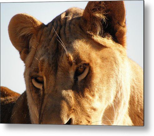Lion Metal Print featuring the photograph The Eyes Have It by Kim Galluzzo Wozniak