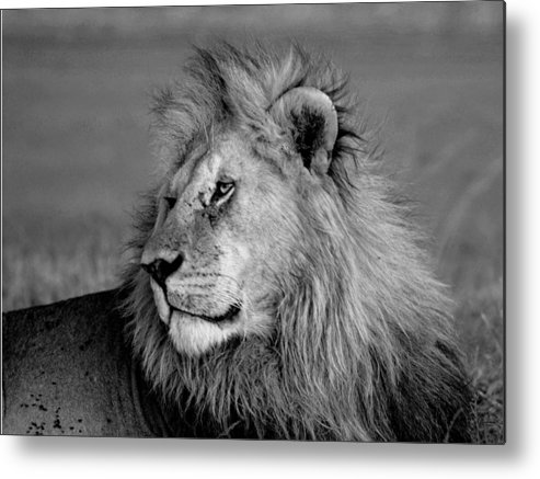 Black And White Metal Print featuring the photograph The Lion by Chris Minihane
