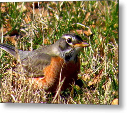 Robin Metal Print featuring the photograph The Robin Stare by Kathy White
