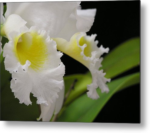 Flower Metal Print featuring the photograph White Cattleya Close-up by Andrea Drake