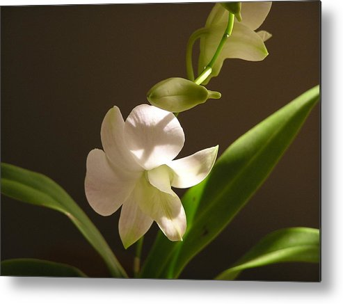 Flower Metal Print featuring the photograph White Dendrobium 2 by Andrea Drake
