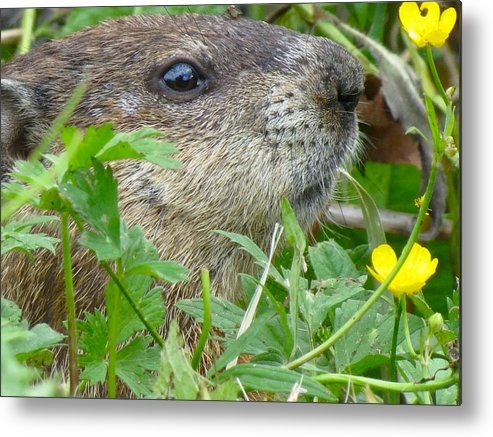 Animals Metal Print featuring the photograph Woodchuck by Azthet Photography