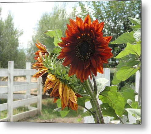 Sunflower Metal Print featuring the photograph Yellow And Rusty by Shannon Grissom