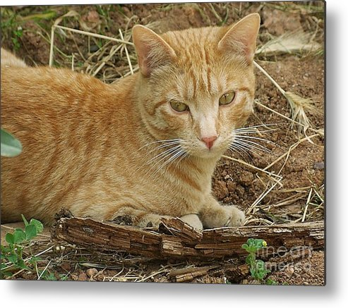 Cat Metal Print featuring the photograph Descansant by Amparo Gallego Mateo