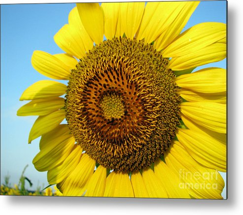 Sunflower Metal Print featuring the photograph Sunflower Series by Amanda Barcon