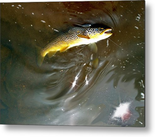 Salmo Trutta Photographs Metal Print featuring the photograph Wild Brown Trout by Mike Shepley DA Edin