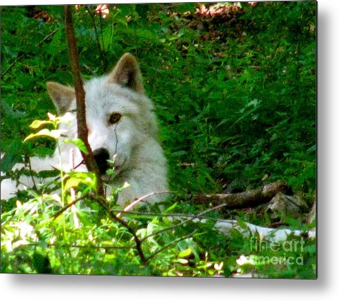 I Found The Shade Metal Print featuring the photograph The Wild Wolve Group B by Debra   Vatalaro