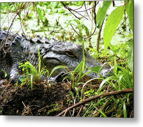 Alligator Metal Print featuring the photograph Alligator Bask by Julie Wright