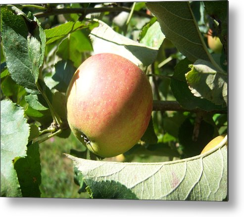 Apple Metal Print featuring the photograph Apple 101 by Ken Day
