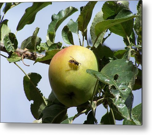 Apple Metal Print featuring the photograph Apple Bee by Gene Ritchhart