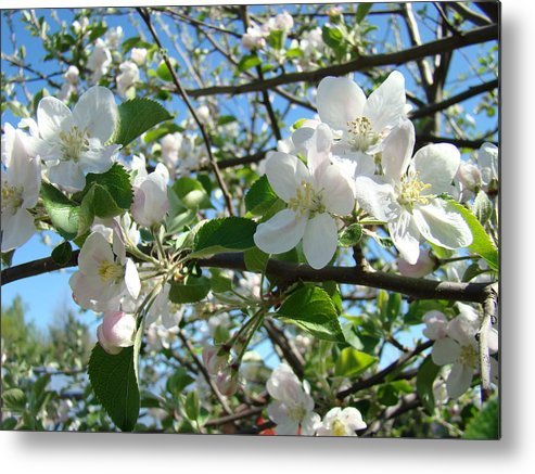 �blossoms Artwork� Metal Print featuring the photograph Apple Blossoms Art Prints 60 Spring Apple Tree Blossoms Blue Sky Landscape by Baslee Troutman