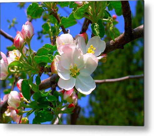 Apple Metal Print featuring the photograph Apple Blossoms by Karon Melillo DeVega