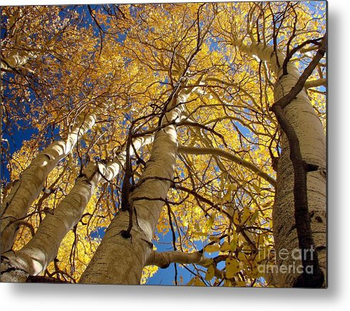 Aspen Tree Fall Colors Metal Print featuring the photograph Aspen's Reaching by Scott McGuire