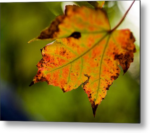 Autumn Metal Print featuring the photograph Autumn Leaf by Jim DeLillo