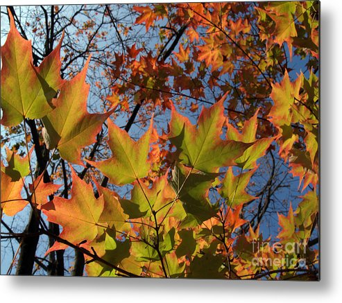 Leaf Metal Print featuring the photograph Back-lit Sugar Maple Leaves From Below by Anna Lisa Yoder