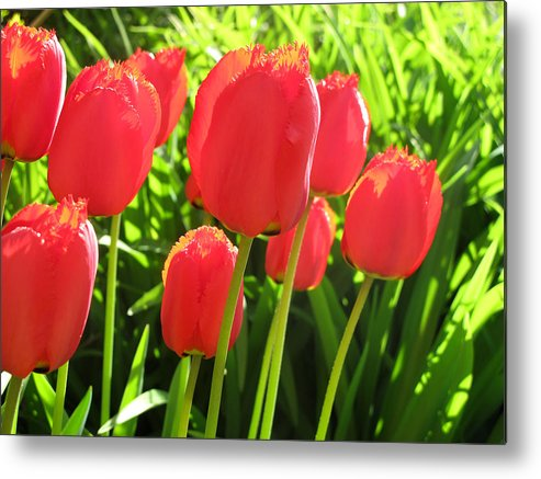 Red Metal Print featuring the photograph Back Lit Tulips 2 by Lyle Crump