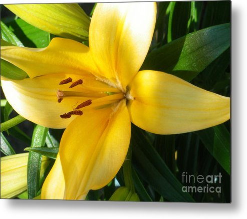 Metal Print featuring the photograph Beautiful Lily I by Sonya Chalmers