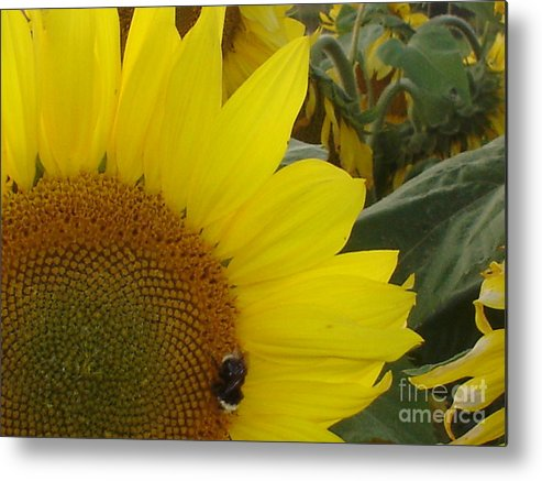 Bee's Metal Print featuring the photograph Bee On Sunflower 1 by Chandelle Hazen