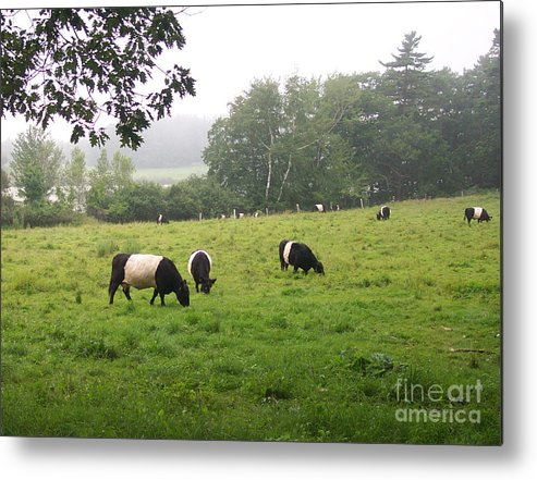 Linda Drown Metal Print featuring the photograph Belted Galloways 2 by Linda Drown