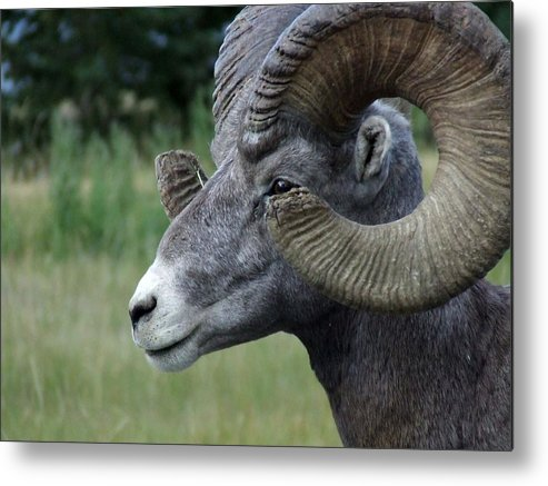 Big Horned Ram Metal Print featuring the photograph Bighorned Ram by Tiffany Vest