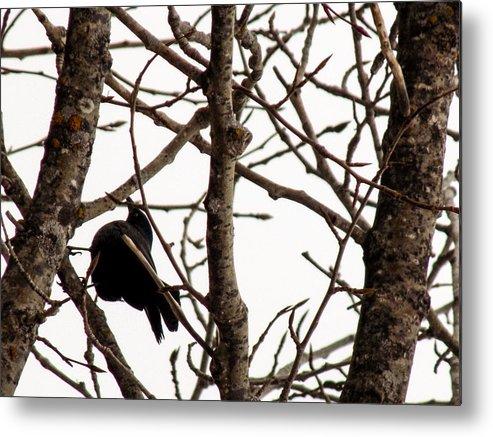 Blackbird Metal Print featuring the photograph Blackbird In A Tree by William Tasker