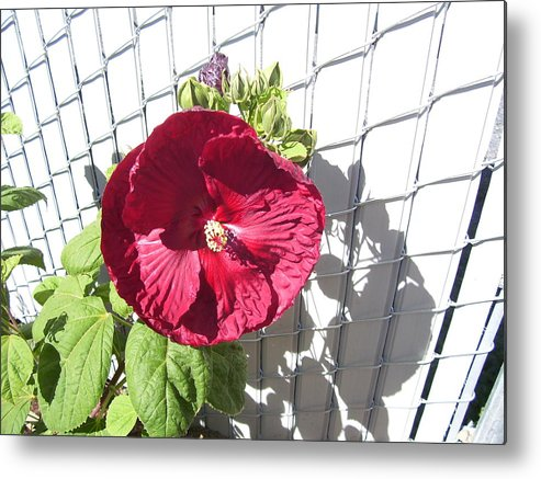 Floral Metal Print featuring the photograph Blood Red Hisbiscus by Barbara Harris