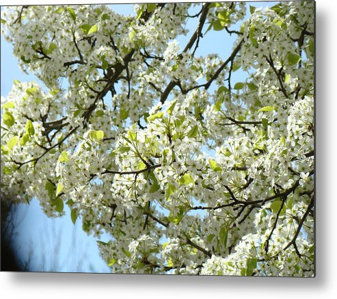 �blossoms Artwork� Metal Print featuring the photograph Blossoms Whtie Tree Blossoms 29 Nature Art Prints Spring Art by Baslee Troutman