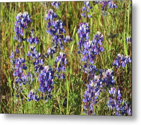 Floral Metal Print featuring the photograph Blue Bonnets by Suzanne Leonard