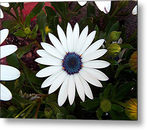 Daisy Metal Print featuring the photograph Blue Center Daisy by Caroline Urbania Naeem