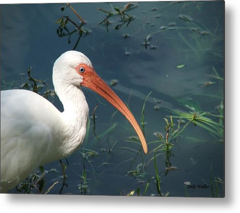 Ibis Metal Print featuring the photograph Blue Eyes by Judy Waller