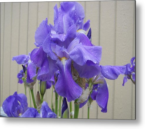 Flowers Metal Print featuring the photograph Blue Iris by Laurie Kidd