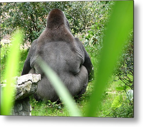 Gorilla Metal Print featuring the photograph Body Language by Stacey May