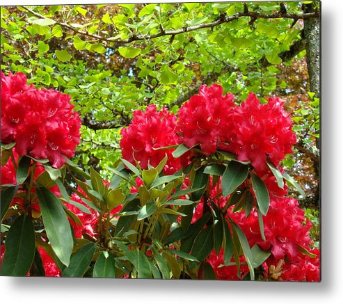 Rhodies Metal Print featuring the photograph Botanical Garden Art Prints Red Rhodies Trees Baslee Troutman by Baslee Troutman
