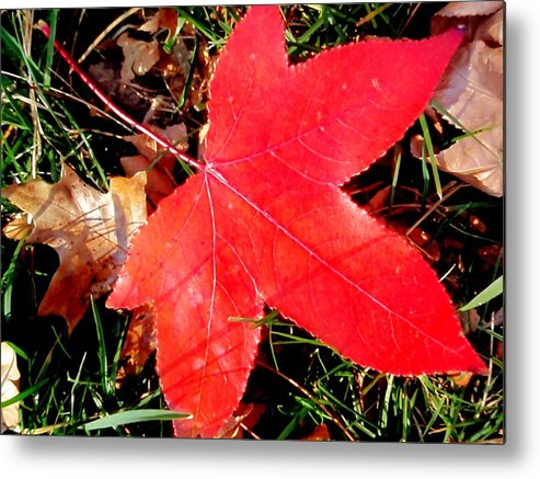 Sweetgum Metal Print featuring the photograph Bright Red by Beth Akerman