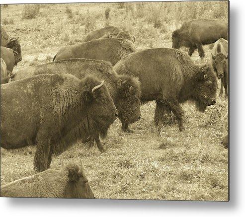 Buffalo Metal Print featuring the photograph Buffalo Roaming by Linda Hardin