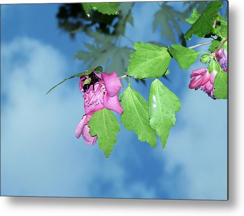 Bumble Bee Metal Print featuring the photograph Bumble Bee by Evelyn Patrick