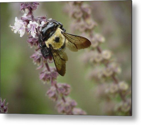Bumblebee Metal Print featuring the photograph Bumblebee Wings by Tina B Hamilton