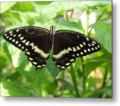Butterfly Metal Print featuring the photograph Butterflies Live - 8 by Arlane Crump